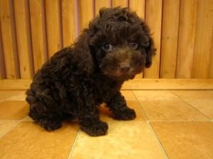 黒トイプードルの子犬