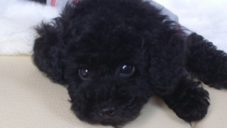見つめるトイプードルの子犬