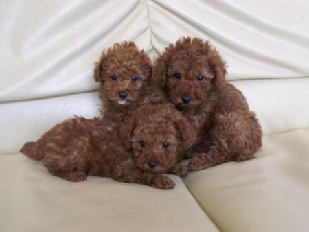 3匹のトイプードルの子犬