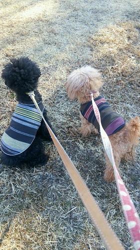2匹一緒に散歩