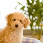 もさもさのトイプードルの子犬