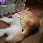 ストーブの前で並んで眠る犬達