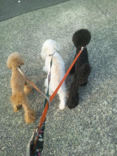 トイプードル3匹と散歩