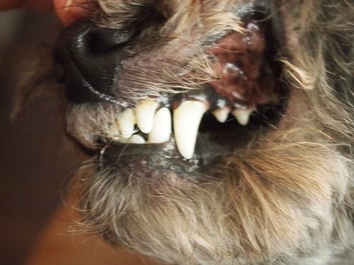 トイプードルの犬歯
