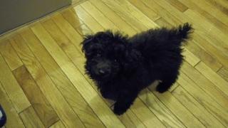 モコモコのトイプードルの子犬