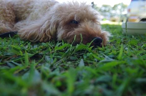 草の上で眠る犬