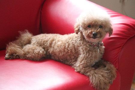 ソファで寛ぐ犬