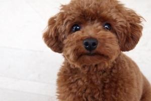 躾中のトイプードルの子犬