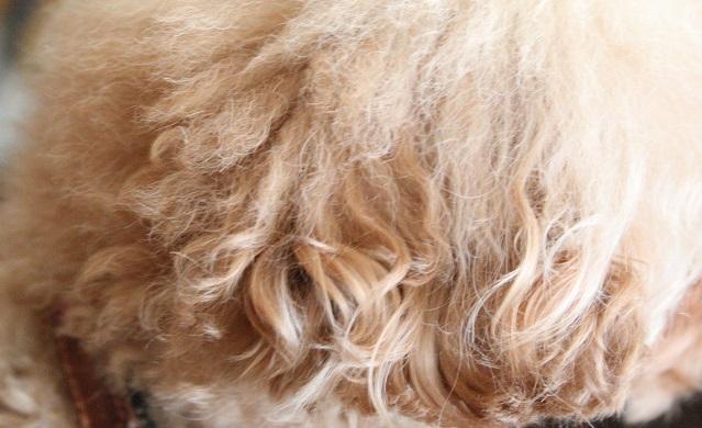 耳の内側の毛は緩やかないカーリー