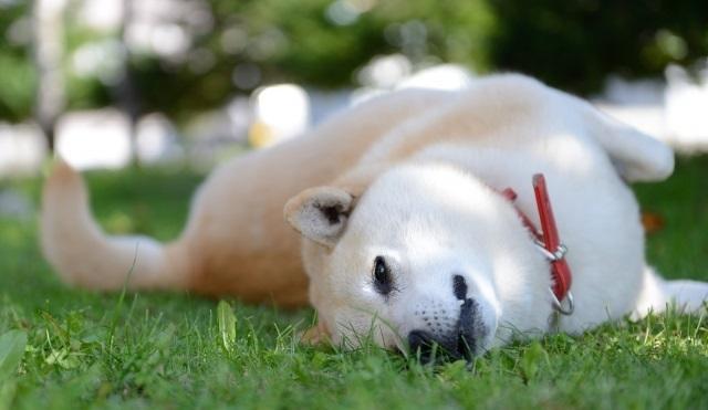 芝で遊ぶ柴犬