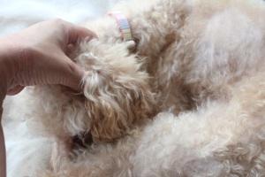 耳をマッサージされる犬