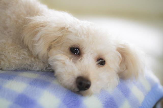 毛布で眠る犬